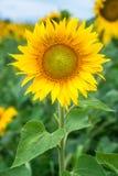 Sonnenblumenfeld unter blauem Himmel Lizenzfreie Stockbilder