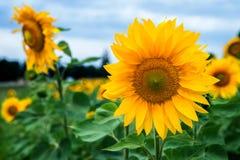 Sonnenblumenfeld unter blauem Himmel Stockbild