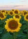 Sonnenblumenfeld während eines Morgensonnenaufgangs Stockfotografie