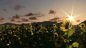 Sonnenblumenfeld, Zeitspannesonnenaufgang, Nacht zum Tag stock video