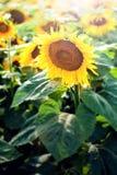 Sonnenblumenfelddetail und -sonnenlicht Lizenzfreies Stockfoto