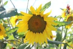 Sonnenblumenfelder - 2 Lizenzfreie Stockfotos