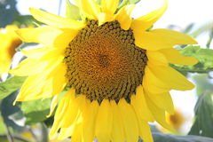 Sonnenblumenfelder - 3 lizenzfreies stockbild