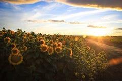Sonnenblumenfelder auf einer Landstraße Lizenzfreie Stockfotos