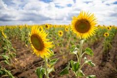 Sonnenblumenfelder Queensland Australien lizenzfreies stockbild