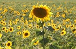 Sonnenblumenfelder von Kozan, die Türkei Stockbilder