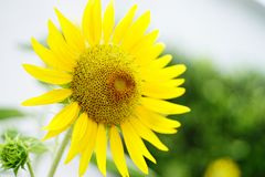 Sonnenblumenfeldlandschaft stockfotografie