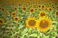 Sonnenblumenfeldlandschaft Gefilterter Effekt Stockfotografie