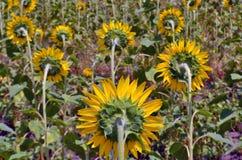 Sonnenblumenfeldlandschaft Rückseitige Ansicht Stockfotos