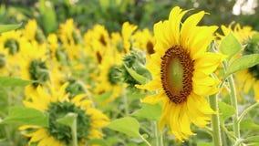 Sonnenblumenfeldlandschaftsansicht beim Blühen auf einer Wiese angesichts der untergehenden Sonne Schöne Sonnenblumenblume auf Ba stock footage