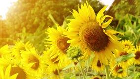 Sonnenblumenfeldlandschaftsansicht beim Blühen auf einer Wiese angesichts der untergehenden Sonne Schöne Sonnenblumenblume auf Ba stock video
