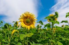 Sonnenblumenfeldnahaufnahme an der Blütezeit lizenzfreies stockfoto