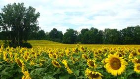 Sonnenblumenfeldnahaufnahme und -abstand Stockbilder