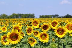 Sonnenblumenfeldsommerlandschaft Stockfotografie