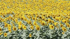 Sonnenblumenfeldsommersaison stock video footage