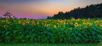 Sonnenblumenfeldsonnenuntergang stockfoto