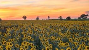 Sonnenblumenfeldsonnenuntergang Zeitspanne stock footage