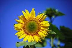 Sonnenblumenfreudenglück stockfotos