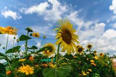 Sonnenblumengarten und bewölktes lizenzfreie stockfotografie