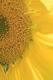 Sonnenblumenhauptnahaufnahme hell beleuchtet durch Sonne Stockfotografie
