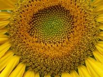 Sonnenblumenherz lizenzfreie stockfotografie