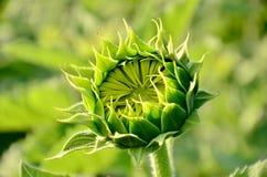 Sonnenblumenknospe stockbild