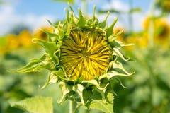 Sonnenblumenknospe ungefähr zur Blüte lizenzfreie stockfotos