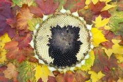 Sonnenblumenkopf auf dem Herbstlaub Stockbild