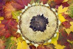 Sonnenblumenkopf auf dem Herbstlaub Stockbilder