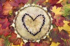 Sonnenblumenkopf auf dem Herbstlaub Lizenzfreies Stockbild