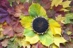 Sonnenblumenkopf auf dem Herbstlaub Stockfotos
