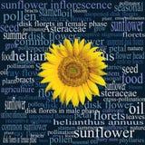 Sonnenblumenkopf auf einer Wortwolke voll von botanischen Ausdrücken Stockbild