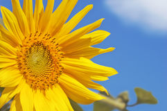 Sonnenblumenkopf und Blattnahaufnahme gegen den Himmel Lizenzfreies Stockbild