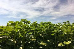 Sonnenblumenlandwirtschaft Grüne Natur Ländliches Feld auf Ackerland im Sommer Pflanzenwachstum Landwirtschaft von Szene Im Freie Stockfoto
