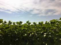 Sonnenblumenlandwirtschaft Grüne Natur Ländliches Feld auf Ackerland im Sommer Pflanzenwachstum Landwirtschaft von Szene Im Freie Lizenzfreie Stockfotos