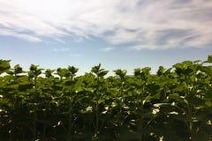 Sonnenblumenlandwirtschaft Grüne Natur Ländliches Feld auf Ackerland im Sommer Pflanzenwachstum Landwirtschaft von Szene Im Freie Lizenzfreies Stockbild