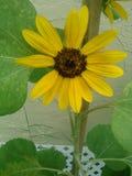 Sonnenblumenmöchtegern lizenzfreies stockfoto