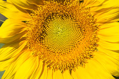 Sonnenblumenmakroschuß Stockbild