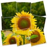 Sonnenblumennahaufnahme lizenzfreie abbildung