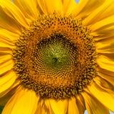 Sonnenblumennahaufnahme Lizenzfreies Stockfoto