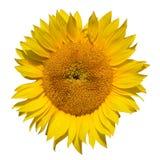 Sonnenblumennahaufnahme auf weißem Hintergrund Stockbilder