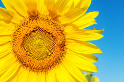 Sonnenblumennahaufnahme mit Biene und tiefem blauem Himmel Stockfoto