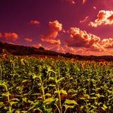 Sonnenblumenplantage bei Sonnenuntergang Lizenzfreie Stockbilder