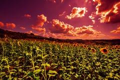 Sonnenblumenplantage bei Sonnenuntergang Stockfotos