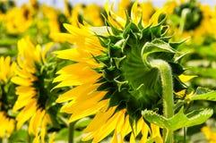 Sonnenblumenrückseite Lizenzfreie Stockbilder