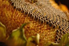Sonnenblumensamen Stockbild