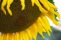 Sonnenblumensamen und gelbe Blumenblätter lizenzfreie stockbilder