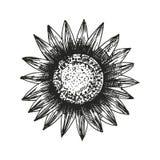 Sonnenblumenskizze Stockfotos