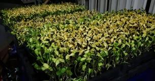 Sonnenblumensprössling lizenzfreie stockfotos