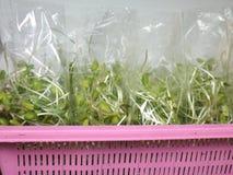 Sonnenblumensprösslinge Lizenzfreies Stockfoto